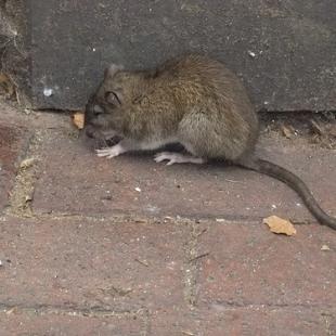 rat d'égout 2