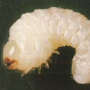 Vrillette larve
