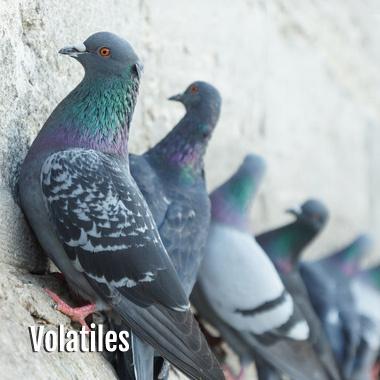 Désinfection Volatiles Pigeons